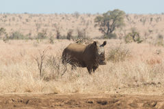 Portrait of a rhinoceros Royalty Free Stock Image