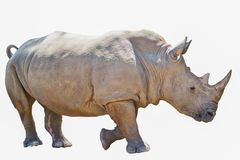 Portrait of  rhinoceros isolated on white background Royalty Free Stock Photo