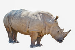 Portrait of  rhinoceros isolated on white background Stock Photo