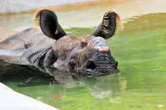 Portrait of rhinoceros in pool of water Stock Photo