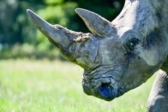 Portrait of a rhinocerous and it`s horn stock image