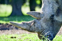 Portrait of a rhinocerous and it`s horn royalty free stock photo