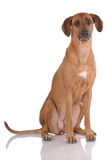 Portrait of Rhodesian Ridgeback Stock Photography