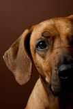 Portrait of rhodesian ridgeback Stock Photos