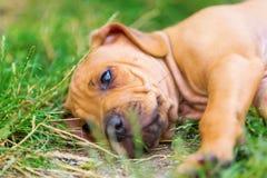 Portrait of a Rhodesian Ridgeback puppy Royalty Free Stock Photo