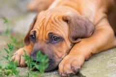 Portrait of a Rhodesian Ridgeback puppy Stock Photos