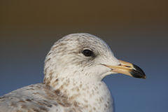 Portrait of a Ring-billed Gull Stock Photo