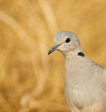 Portrait of Ring-necked Dove Stock Images