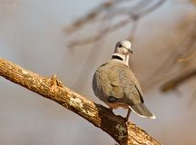Portrait of Ring-necked Dove Royalty Free Stock Photos