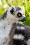 Portrait of a ring tail lemur. In wildlife royalty free stock image