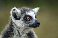 Portrait of a Ring-tailed lemur. An awesome portrait of a lemur, with amazing orange eyes royalty free stock photography