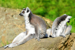 Portrait of a ring-tailed lemur Royalty Free Stock Images