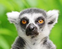Portrait of a ring-tailed lemur Stock Photo