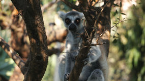 Portrait of the ring-tailed lemur. Lemur catta sits on the tree, South Africa Stock Image