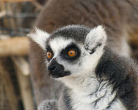 A Portrait of a Ring-tailed Lemur Stock Image