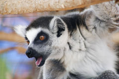 A Portrait of a Ring-tailed Lemur Stock Photo