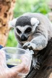 Portrait of Ring-tailed Lemur. stock photo