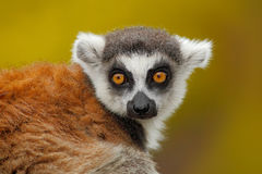 Portrait of Ring-tailed Lemur, Lemur catta, with yellow clear background. Portrait of Ring-tailed Lemur, Lemur catta Stock Image
