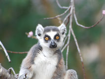 Ring Tailed Lemur Portrait looks directly in lens - Madagascar stock photo
