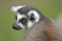 Portrait ring-tailed lemur Stock Images