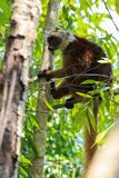 Ring tailed lemur in Nosy Be Madagascar stock image