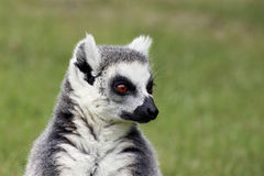 Portrait of ring-tailed lemur Royalty Free Stock Photo
