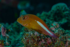 Portrait of a ringeye hawkfish. Ringeye hawkfish Paracirrhites arcatus perched on a rocky reef outcrop. Photographed on the Great Barrier Reef Stock Images
