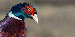 Portrait of a Ringneck Pheasant, Phasianus colchicus. Close up stock photo