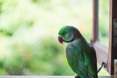 Portrait of Ringnecked Parakeet Royalty Free Stock Photography