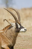Portrait of Roan Antelope. Hippotragus equinus royalty free stock images