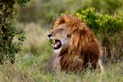Portrait of roaring Lion Ron in Masai Mara. Kenya Royalty Free Stock Image