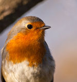 Portrait of a Robin. A fairly common bird in the european garden and forest, this close-up of an European Robin (Erithacus rubecula) shows it´s delicate stock photography