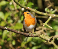 Portrait of a Robin Royalty Free Stock Image