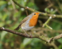 Portrait of a Robin Stock Photography