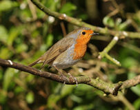 Portrait of a Robin Stock Image