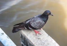 Portrait of a Rock Dove Stock Photos