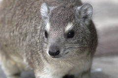 Portrait of a rock hyrax Stock Photos