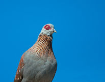 Portrait of a rock pigeon Royalty Free Stock Photos