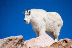 Portrait of a rocky mountain goat Stock Image