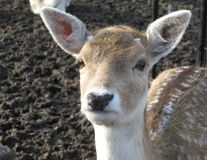 A portrait of a roe deer. A close up of the head of a roe deer with ears, eyes, and a nose stock photos
