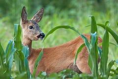 Portrait of roe deer doe female in summer Royalty Free Stock Image