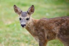 Portrait of Roe Deer Fawn, Capreolus capreolus. Young wild Roe Deer fawn, young wild animal Royalty Free Stock Photos