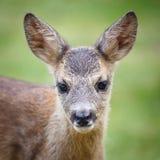 Portrait of Roe Deer Fawn, Capreolus capreolus. Young wild Roe Deer fawn, young wild animal Stock Images