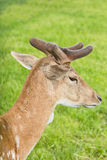 Portrait of roe deer Royalty Free Stock Photos