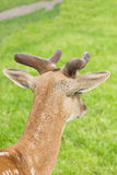 Portrait of roe deer Royalty Free Stock Images