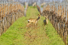 Portrait of roe deer in a wineyard. Royalty Free Stock Image