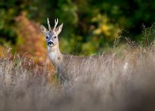 Portrait of a roebuck. In the high grass by the forest Royalty Free Stock Image