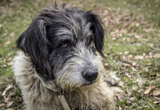 Portrait of romanian mioritic sheepdog Royalty Free Stock Photos