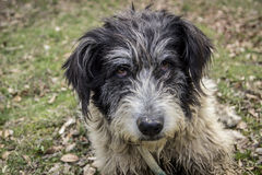 Portrait of romanian mioritic sheepdog Royalty Free Stock Photography