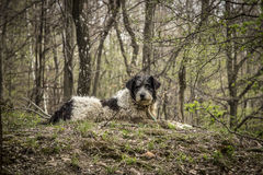Portrait of romanian mioritic sheepdog Stock Photography